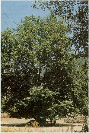 ��nar a�ac� - Platanus orientalis L.