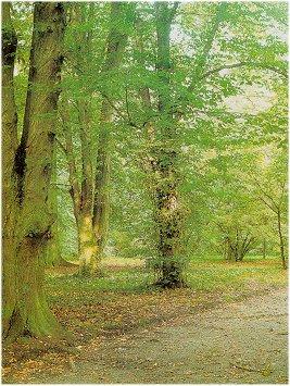 Gürgen ağacı - Carpinus sp. L.