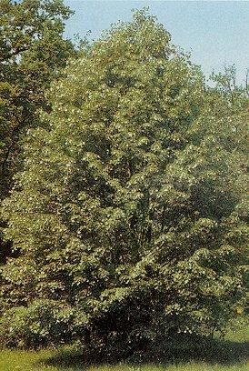 Orman A�a�lar� �simleri Nelerdir Orman A�a�lar�n�n �simleri ve �zellikleri Orman A�a�lar�n�n Faydalar�