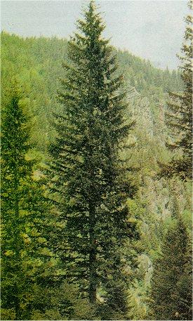 Ladin a�ac� - Picea orientalis (L) Link.