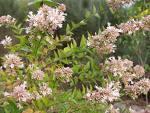 Abelya - Abelia Chinensis