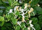 Lonicera Caprifolium