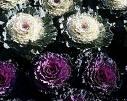 S�s Lahanas� Brassica Oleracea Var. Acephala