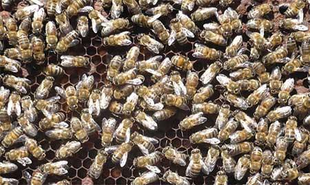 Toplu Arı Ölümleri Gerçekleşiyor