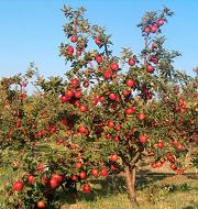 Bodur elma yeti�tiricili�ine ra�bet art�yor