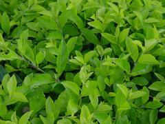 2016 Yılı Yaş Çay Ürünü İçin Fark  Ödemesi Desteği Yapılmasına Dair Tebliğ Yayımlandı.
