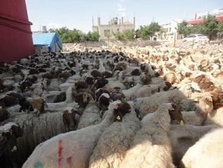 Hassa'da Damızlık Koyun Dağıtımı
