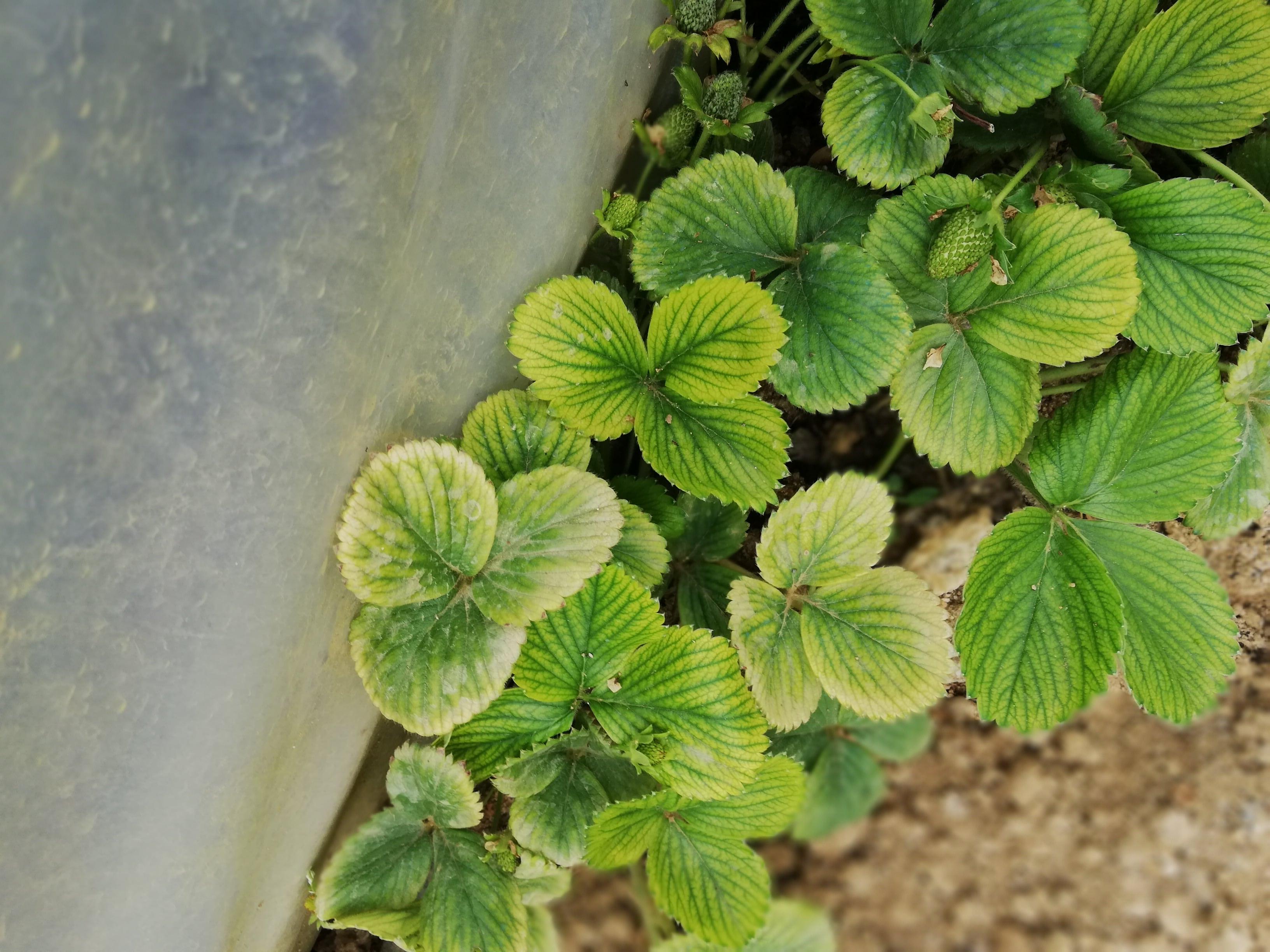 çilek yaprak damarları yeşil