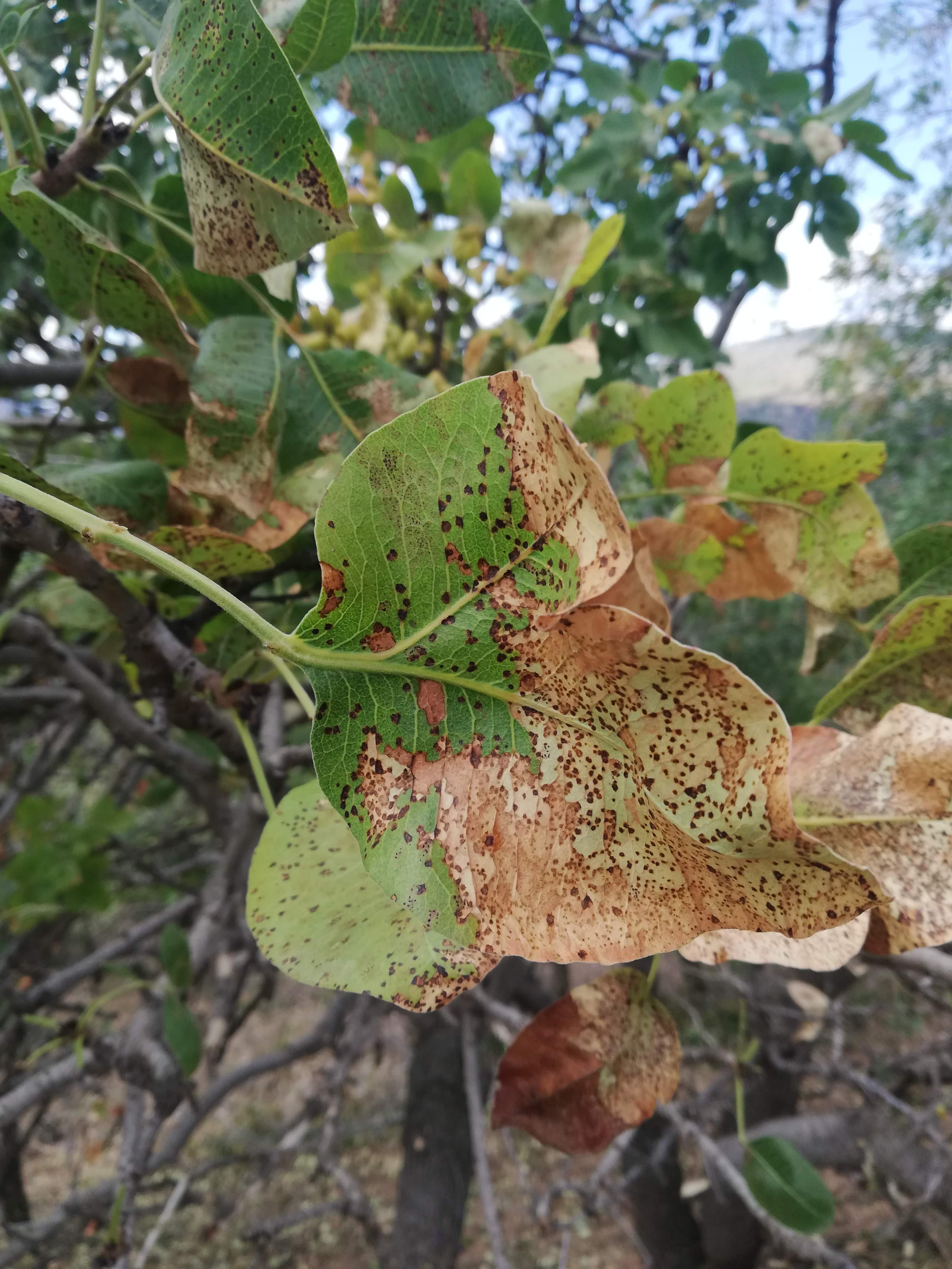 Pseudocercospora pistacina