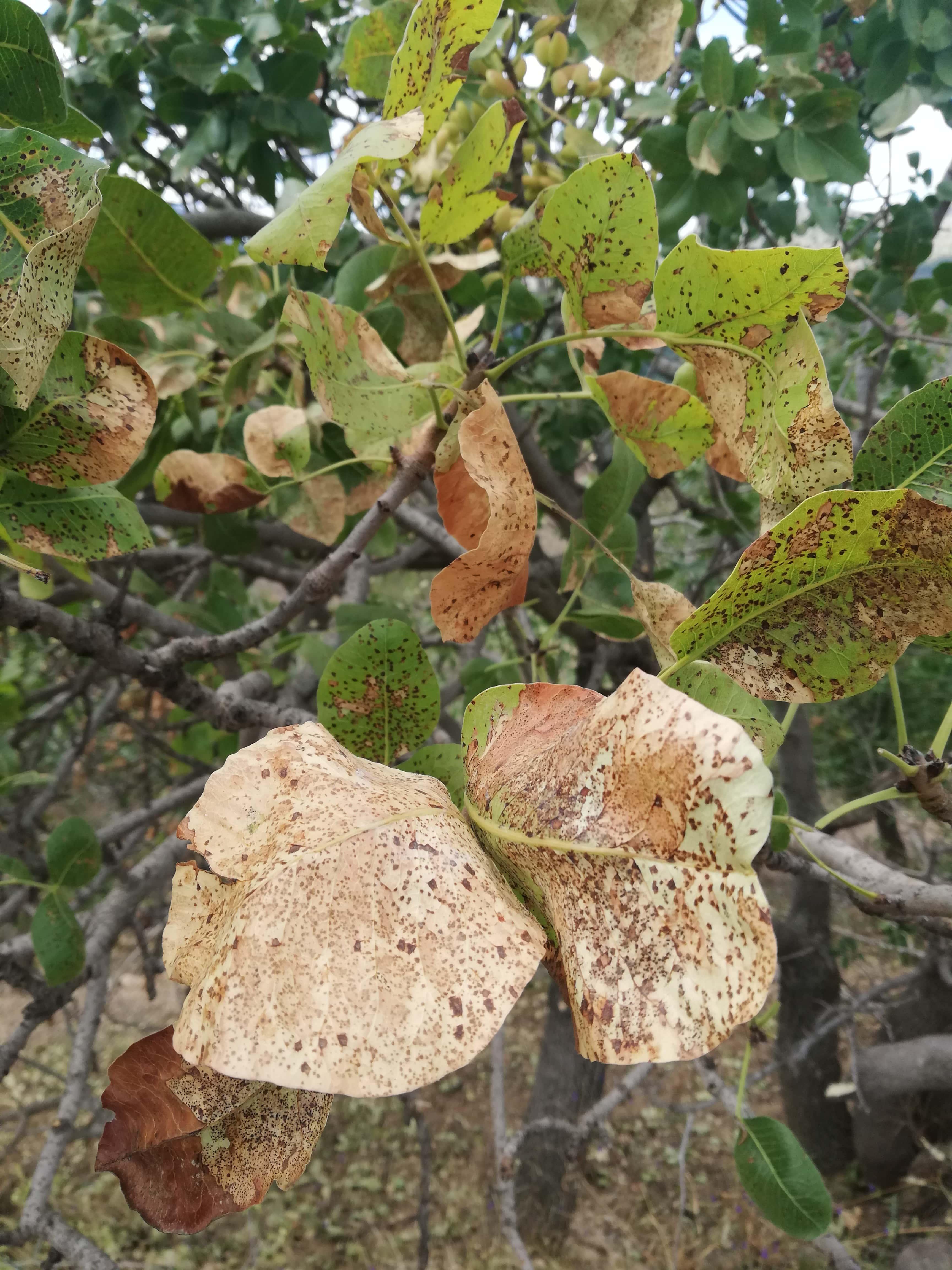 Antepfıstığı yapraklarında kuruma