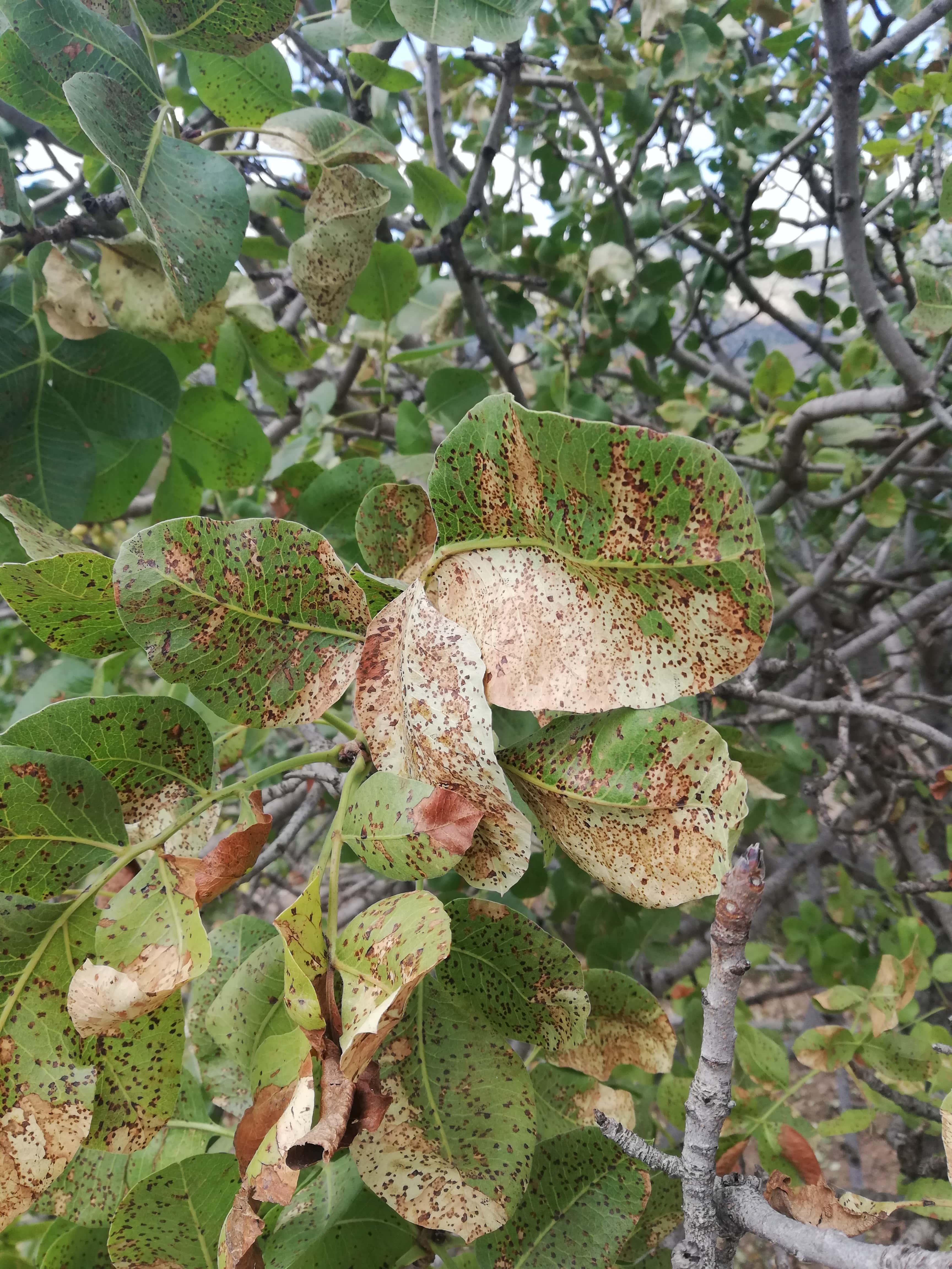 antepfıstığı karazenk hastalığı