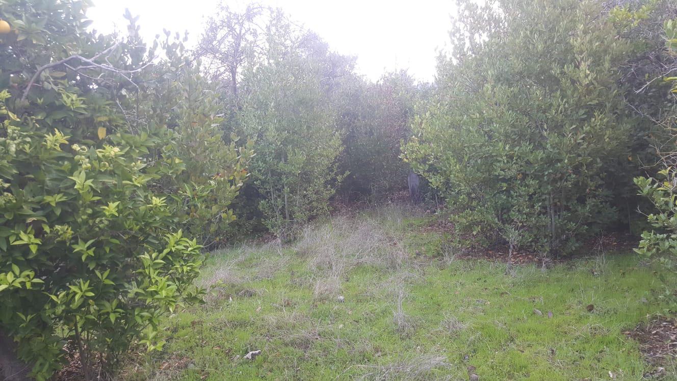 Defne ağacı - Üretici Halil Güzelses 3 tl fiyat ile 100 adet defne ağacı  satmak istiyor