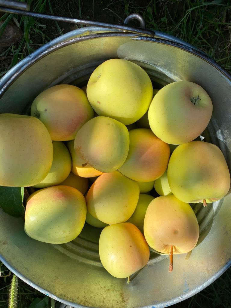 Elma - Üretici Sedat Yıldırım 3.5 tl fiyat ile 23.500 kilogram golden delicious çeşidi elma satmak istiyor