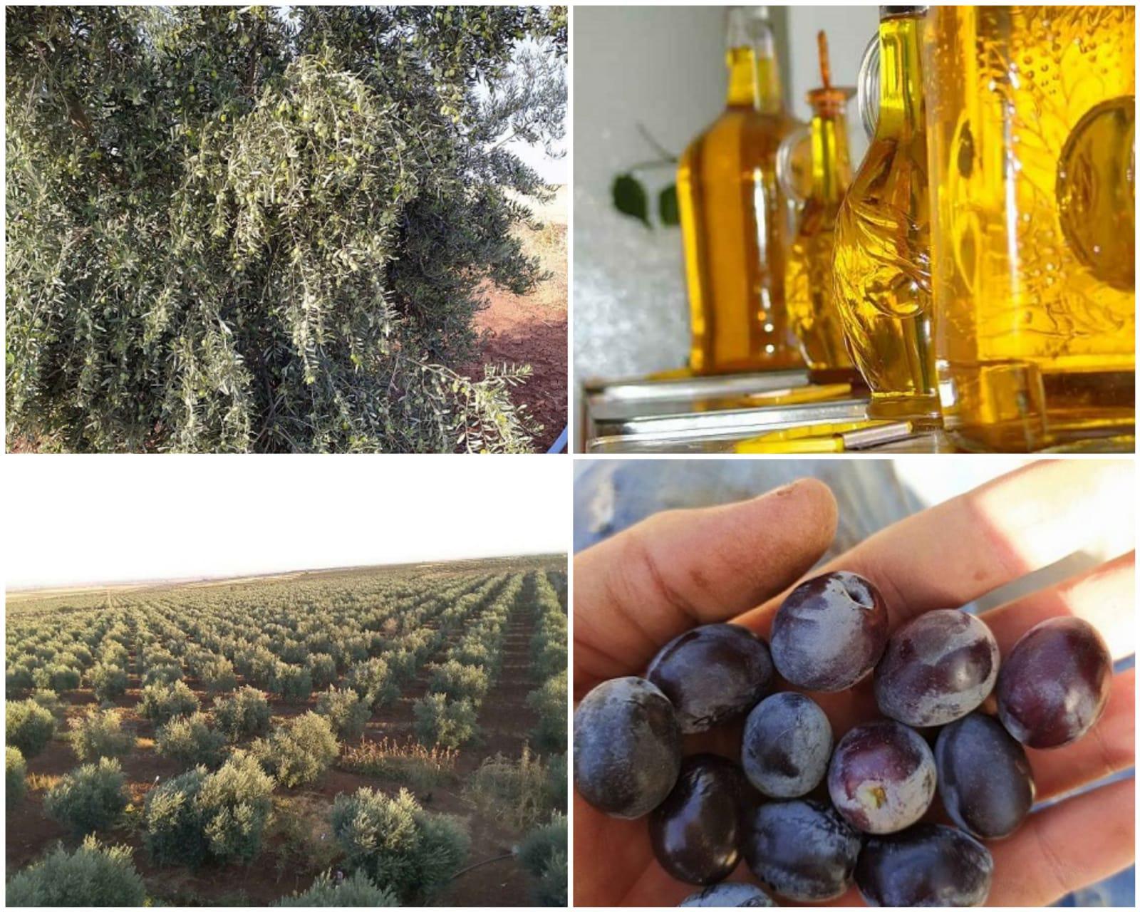 Zeytinyağı - Üretici Kerem Emir 30 tl fiyat ile 2.000 litre zeytinyağı  satmak istiyor
