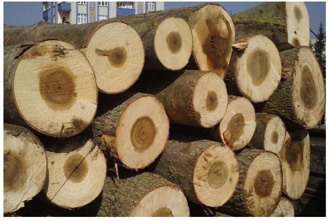 Ankara Akyurt Kavak ağacı alımı