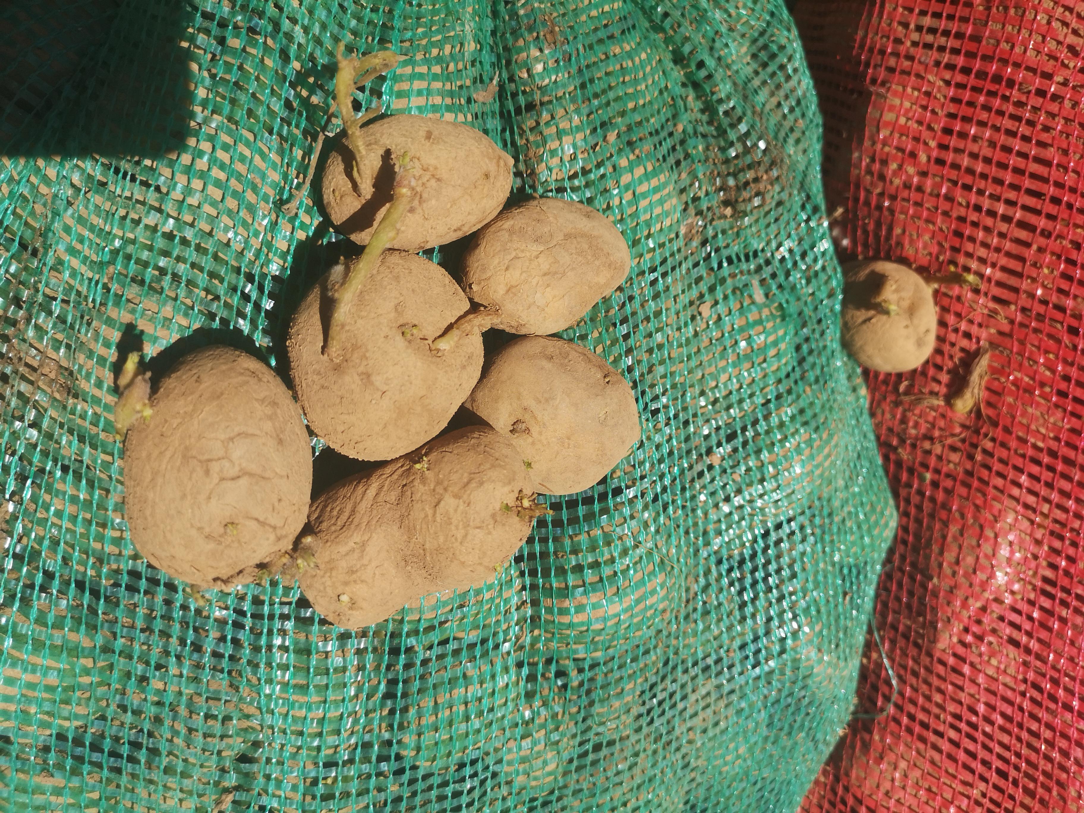 Bitlis Tatvan Satılık Patates