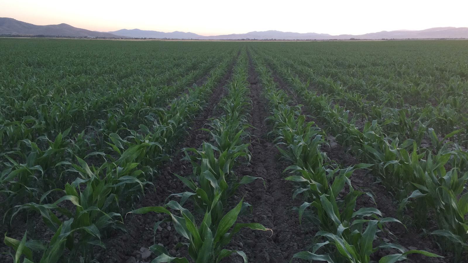 Mısır Silajı - Üretici Osman Bozkurt 450 tl fiyat ile 500.000 kilogram mısır silajı  satmak istiyor