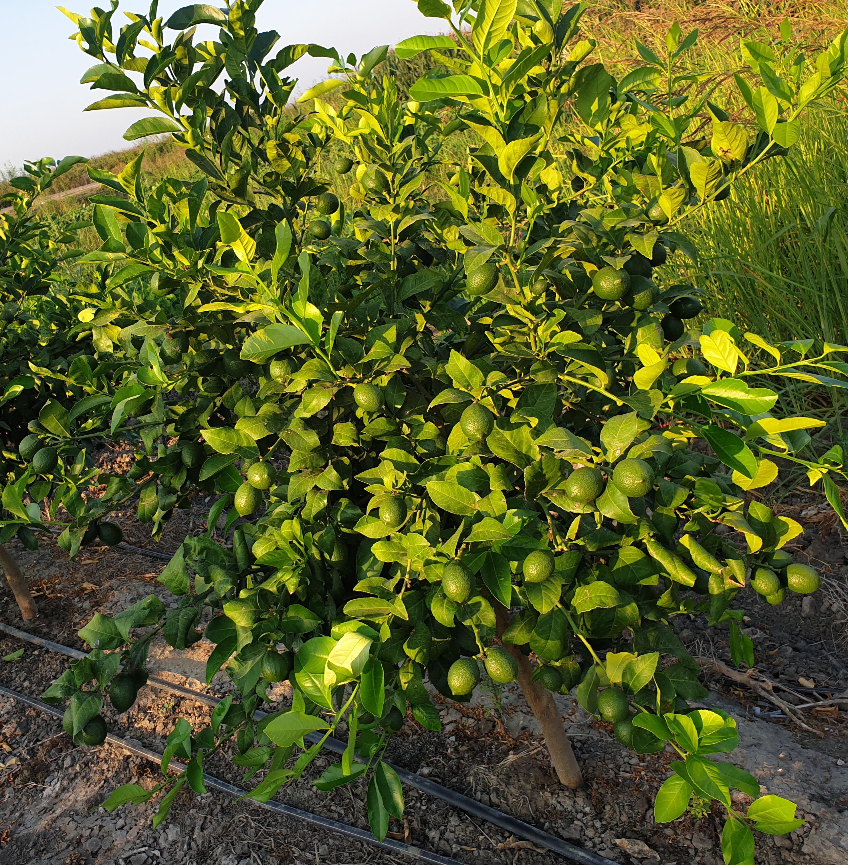 Adana Karataş Satılık Limon