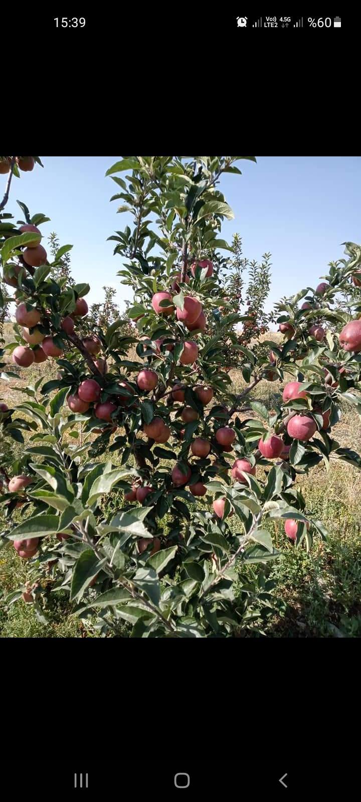 İzmir Çay Satılık Elma