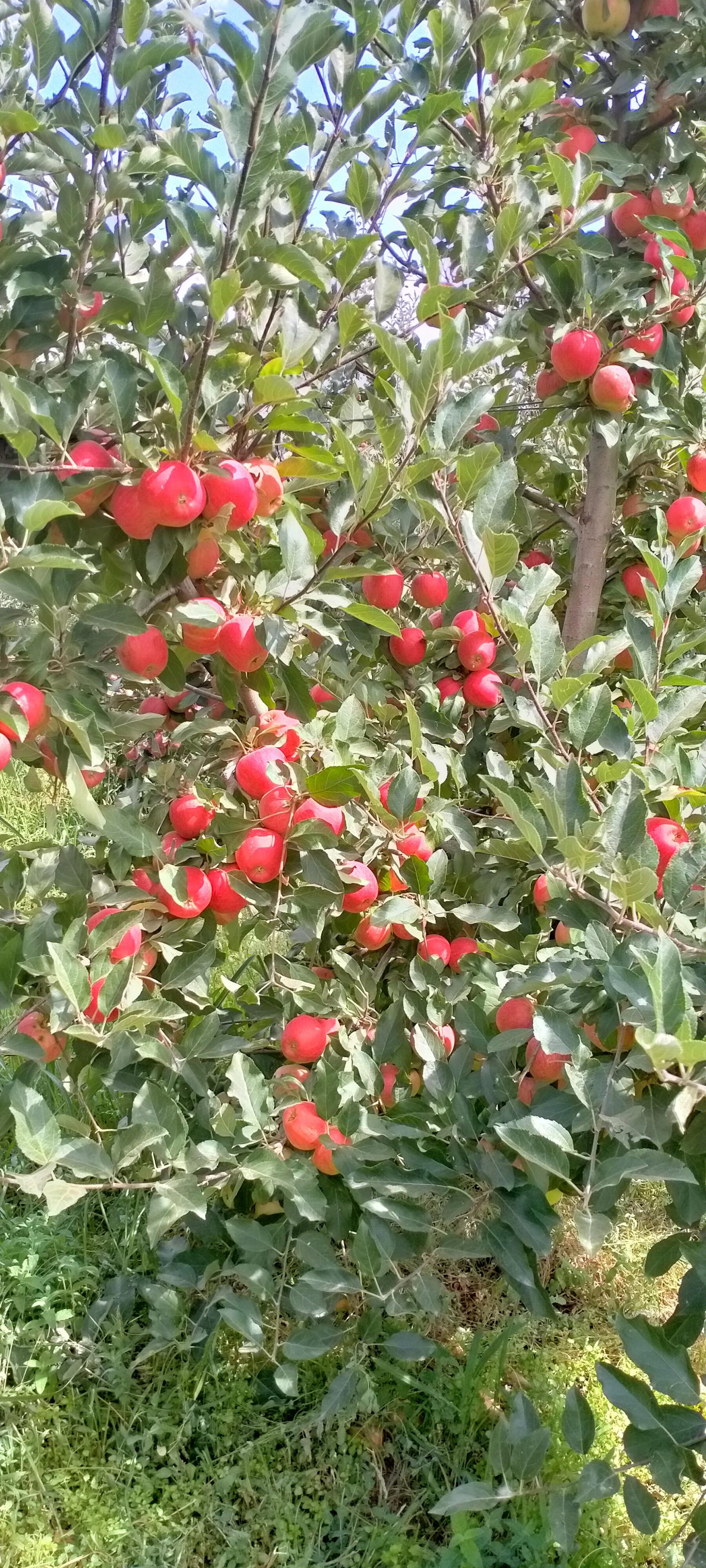 Isparta Aksu Satılık Elma
