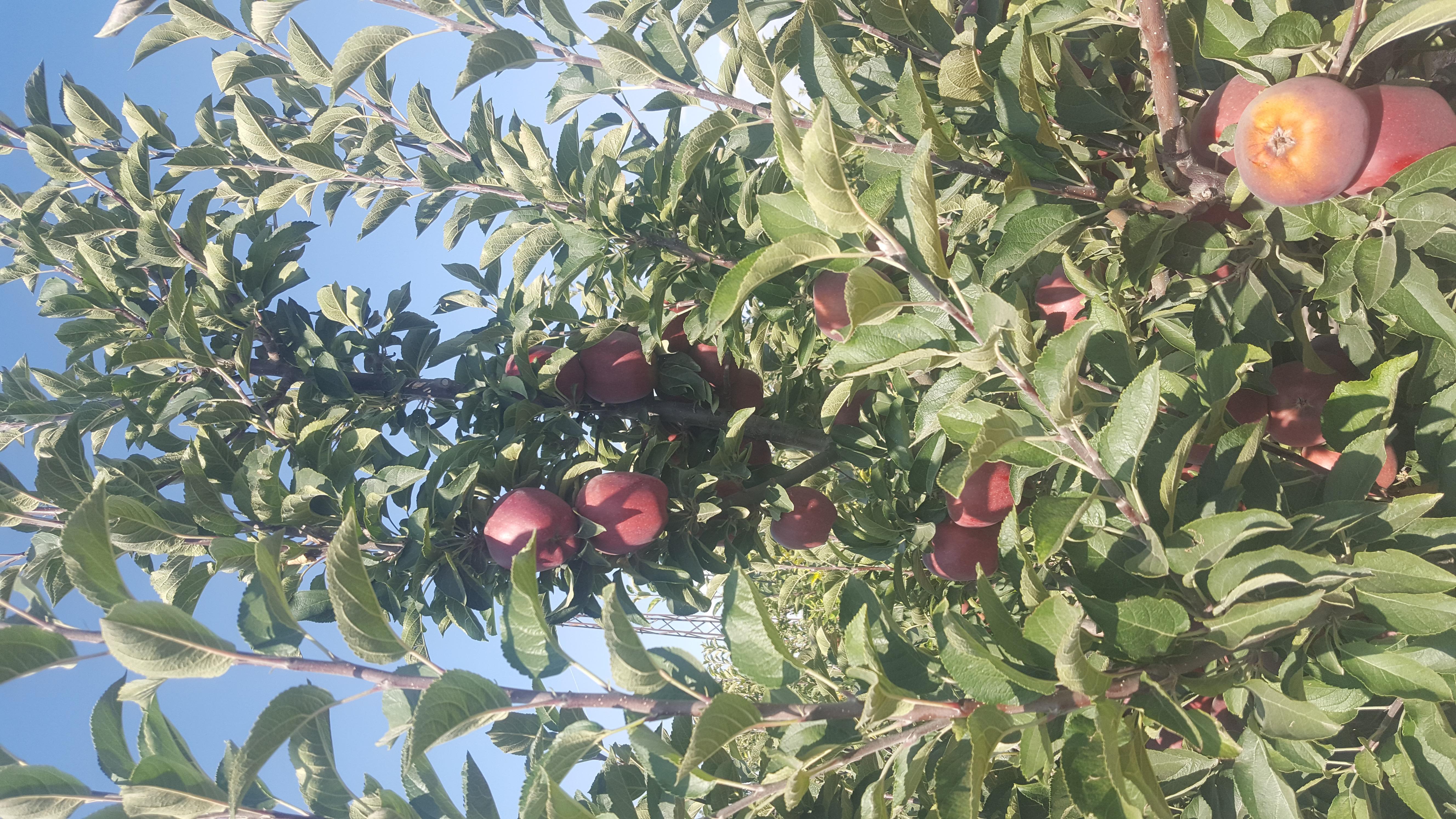 Elma - Üretici Şaban Akkoyun 2500 tl fiyat ile 200.000 kilogram golden delicious çeşidi elma satmak istiyor