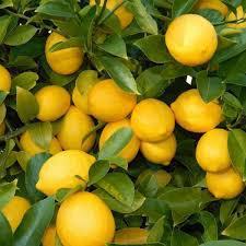 Mersin Erdemli Satılık Limon