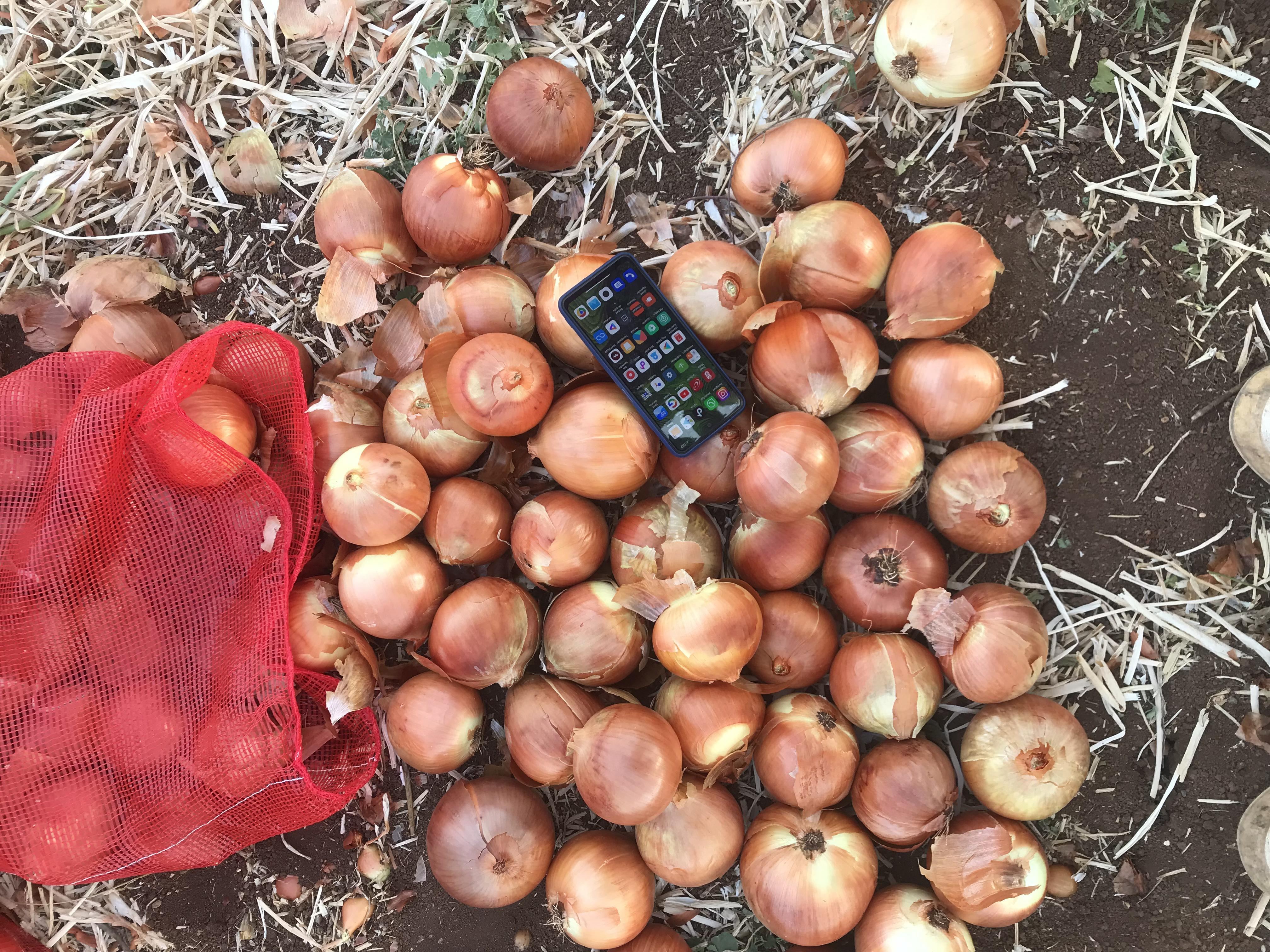 Kuru Soğan - Üretici Serdar Akgül 1.1 tl fiyat ile 700.000 kilogram kuru soğan  satmak istiyor