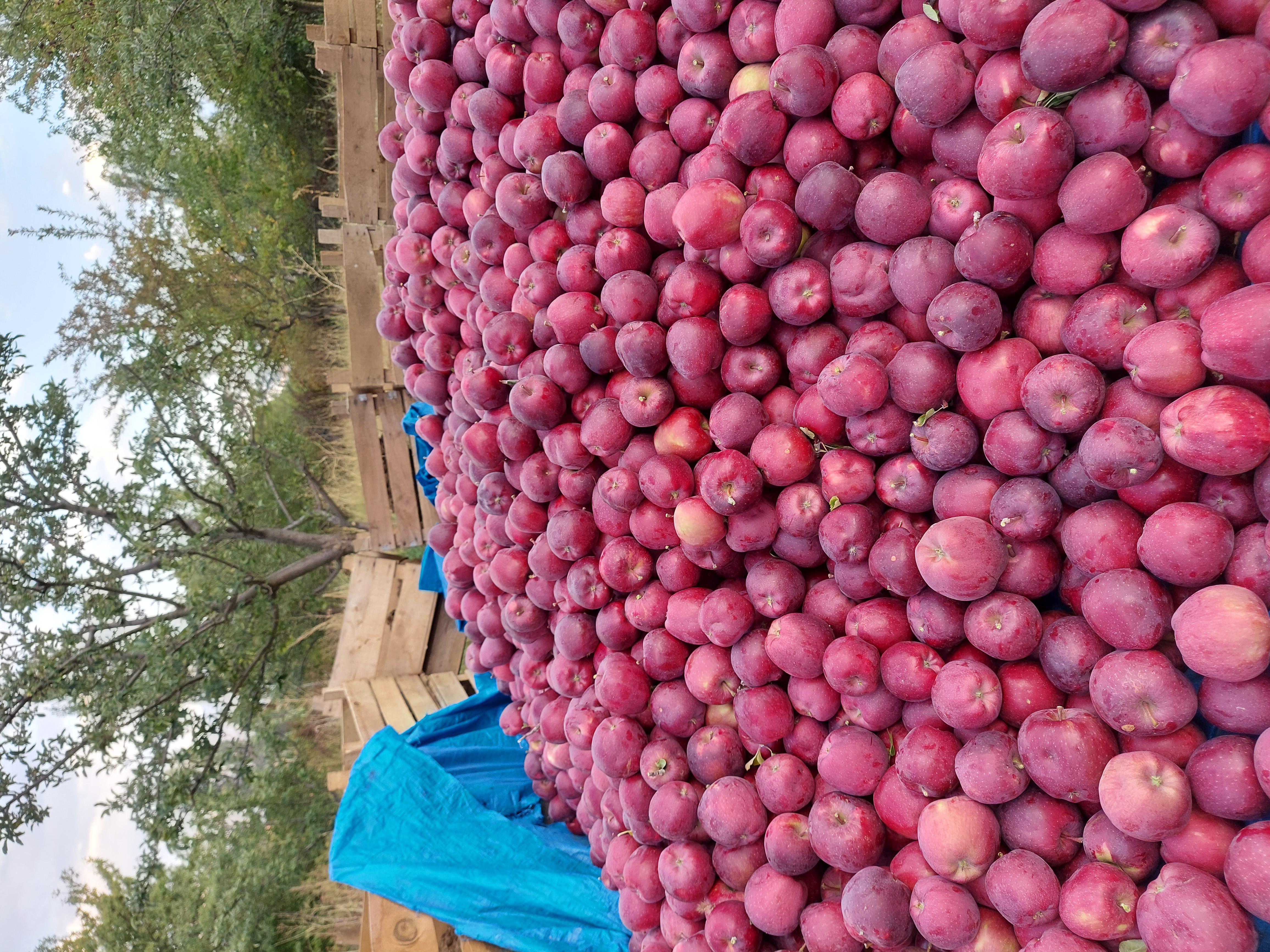 Elma - Üretici Süleyman Karpuzcu 2 tl fiyat ile 4.500 kilogram elma  satmak istiyor