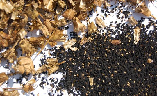 Çörekotu tohumu - Yağlık Çörekotu
