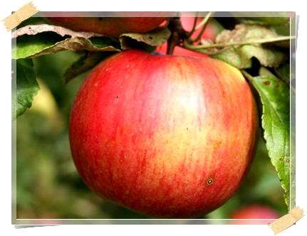 Elma - Elinde İdared Cinsi Elma (Bodur Ağaç) Olan Arkadaşlar Lütfen Acil Olarak Bana Ulaşın Elinizdeki Ürünü