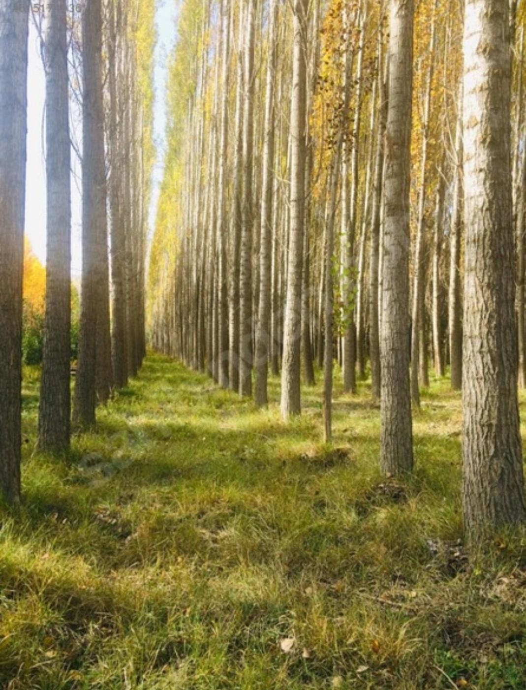 Kavak ağacı - Üretici Mahmut Aksarı 1 tl fiyat ile 100.000 adet kavak ağacı  satmak istiyor