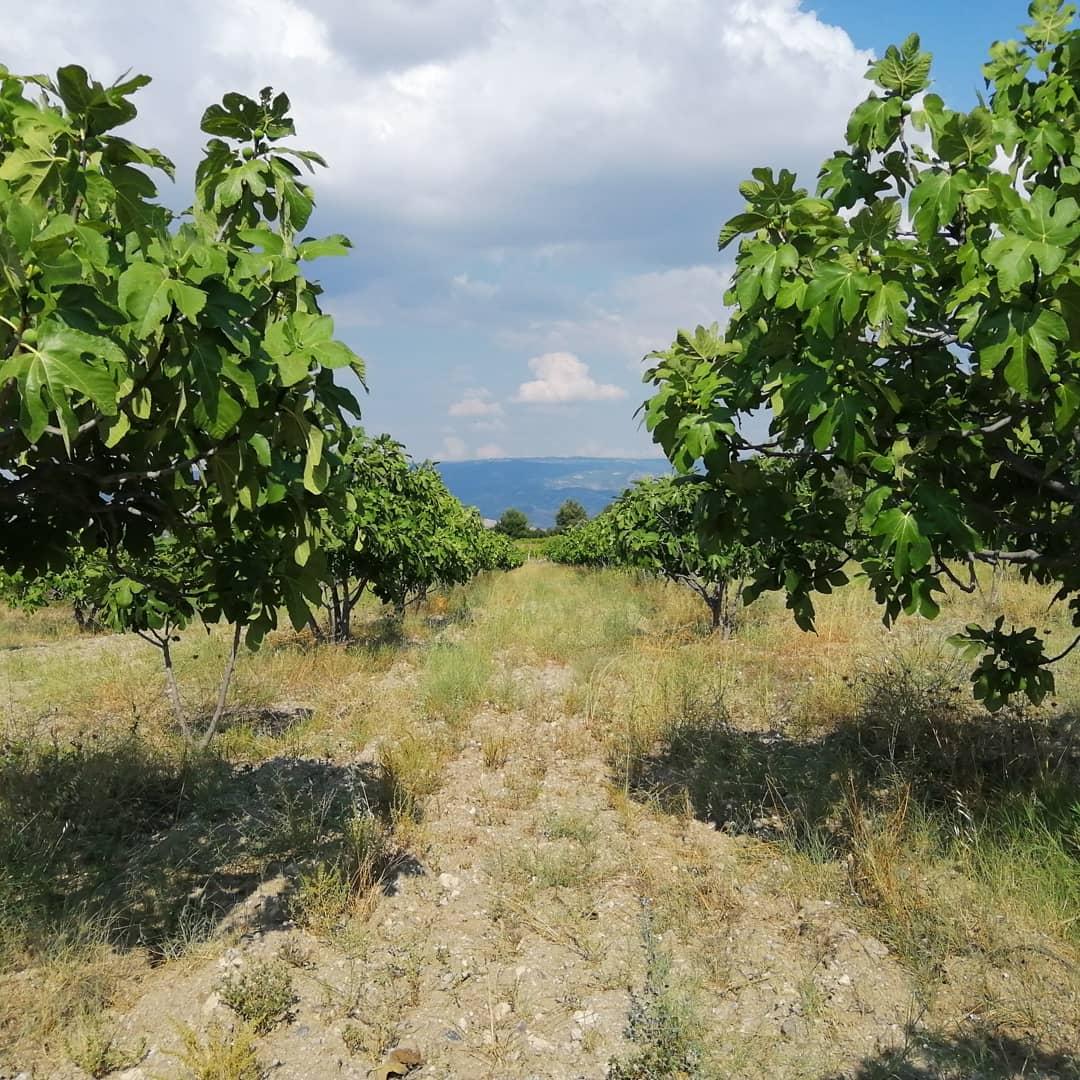 Kuru İncir - Üretici Fatih Demirdağ 40 tl fiyat ile 1 kilogram kuru incir  satmak istiyor