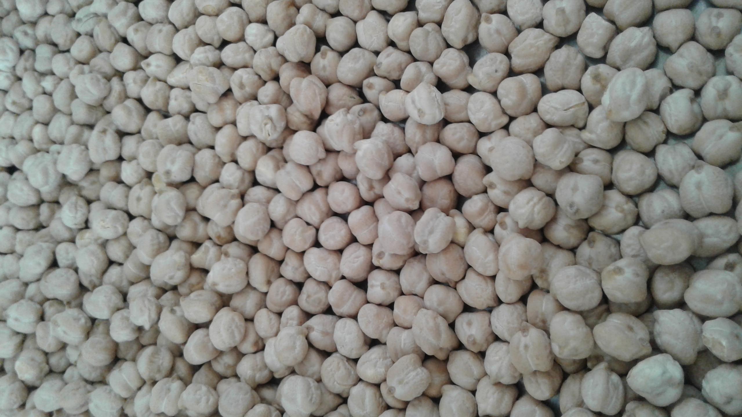 Nohut tohumu resimi fotoğrafı