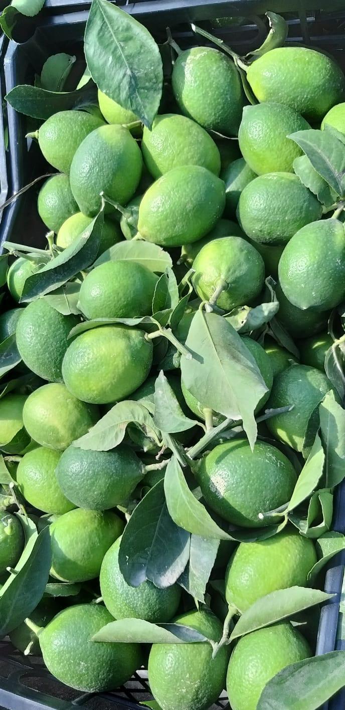 Limon - Ersoy Sırac 100 kilogram meyer çeşidi limon almak istiyor