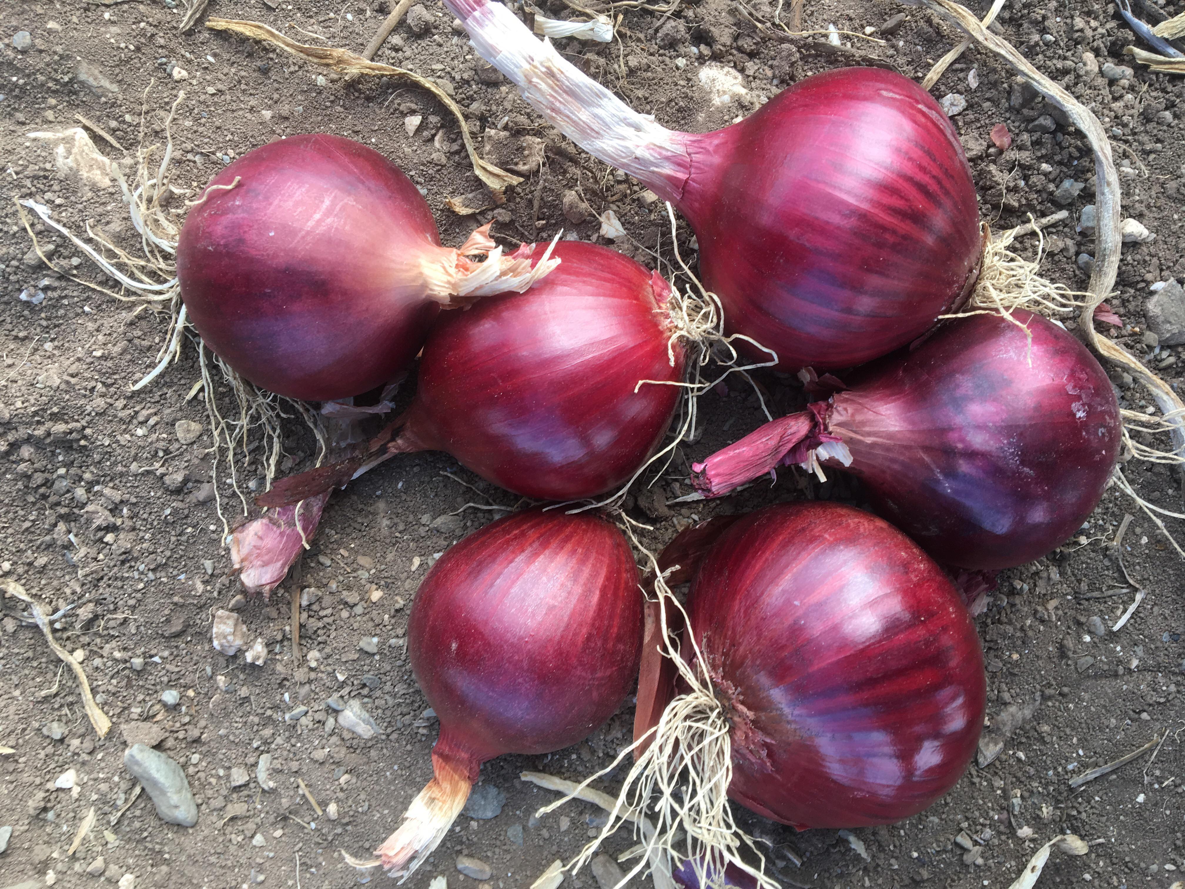 Kuru Soğan - Üretici Aslan Istegün 1100 tl fiyat ile 200 kilogram kuru soğan  satmak istiyor