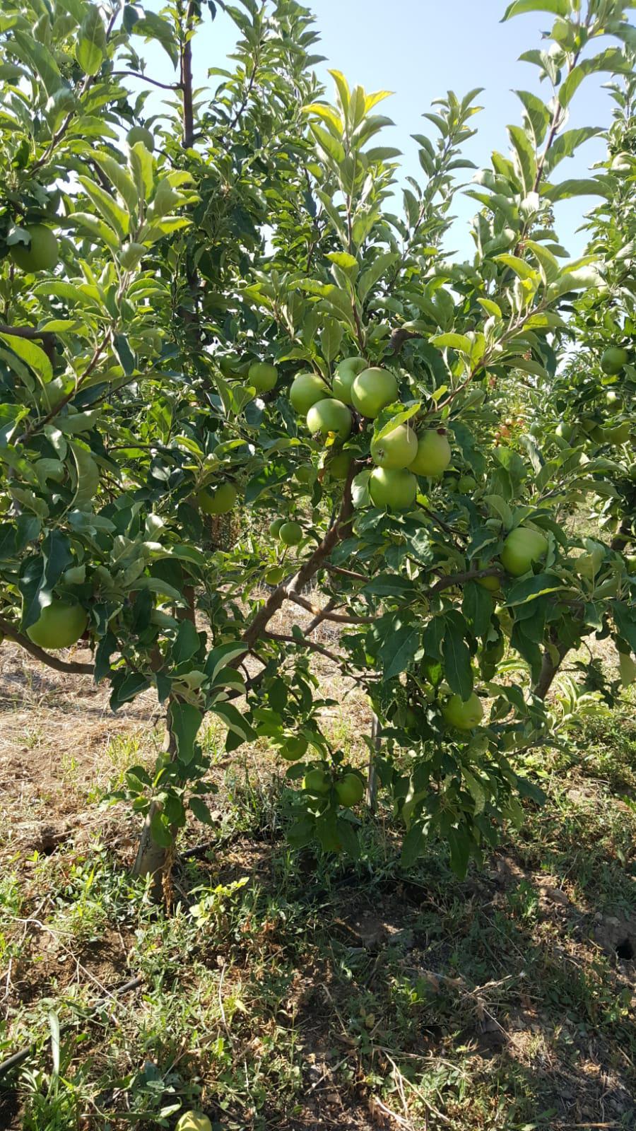 Elma - Üretici Veli Olmez 1.5 tl fiyat ile 40.000 kilogram granny smith çeşidi elma satmak istiyor