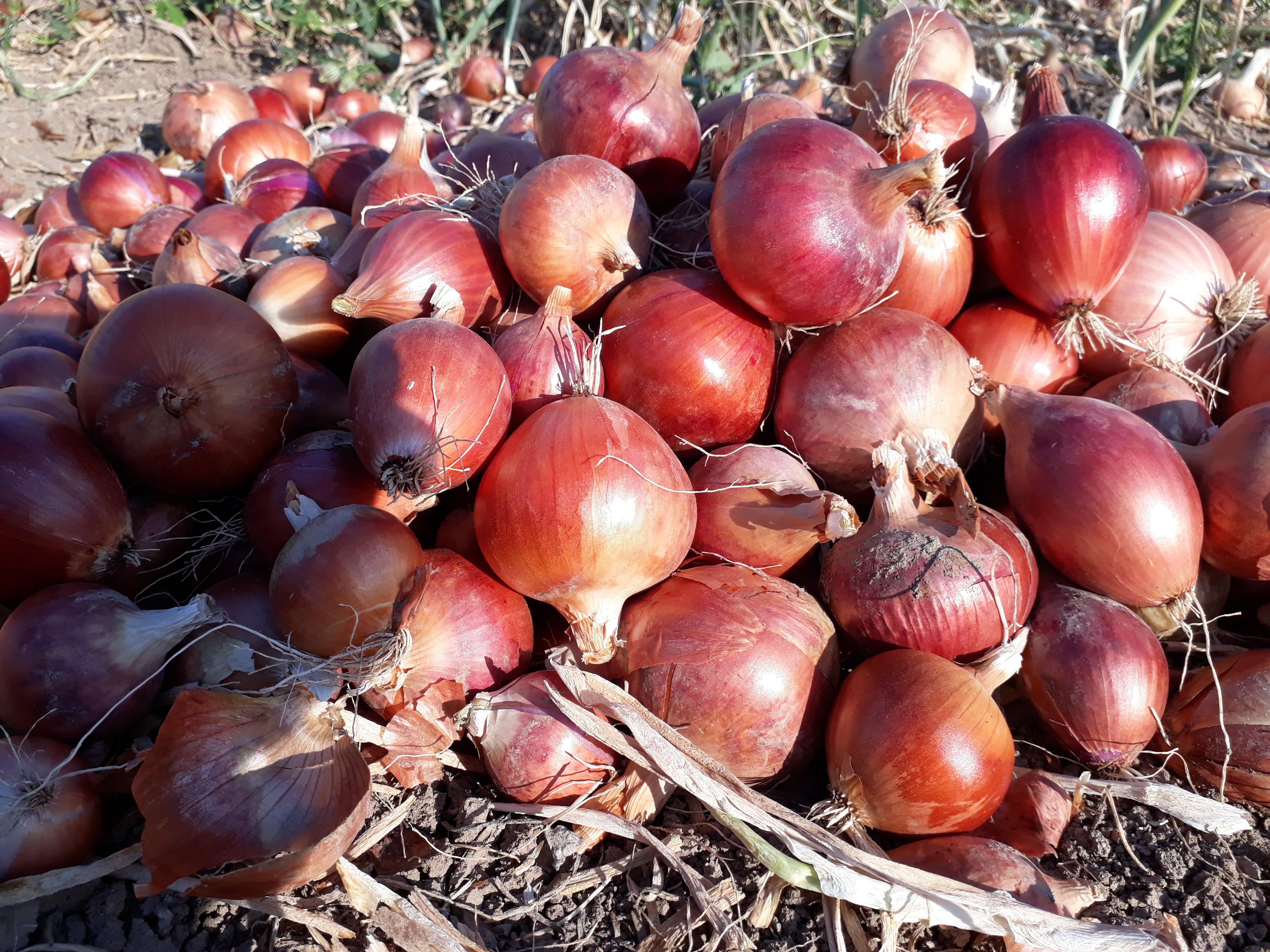 Kuru Soğan - Üretici Ali Gülhan 1.1 tl fiyat ile 20 kilogram kuru soğan  satmak istiyor