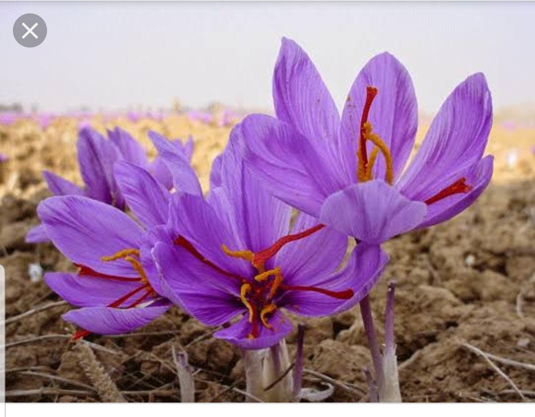 Safran Soğanı Ve Çiçeği Bulunur  Bilgi Için resimi fotoğrafı