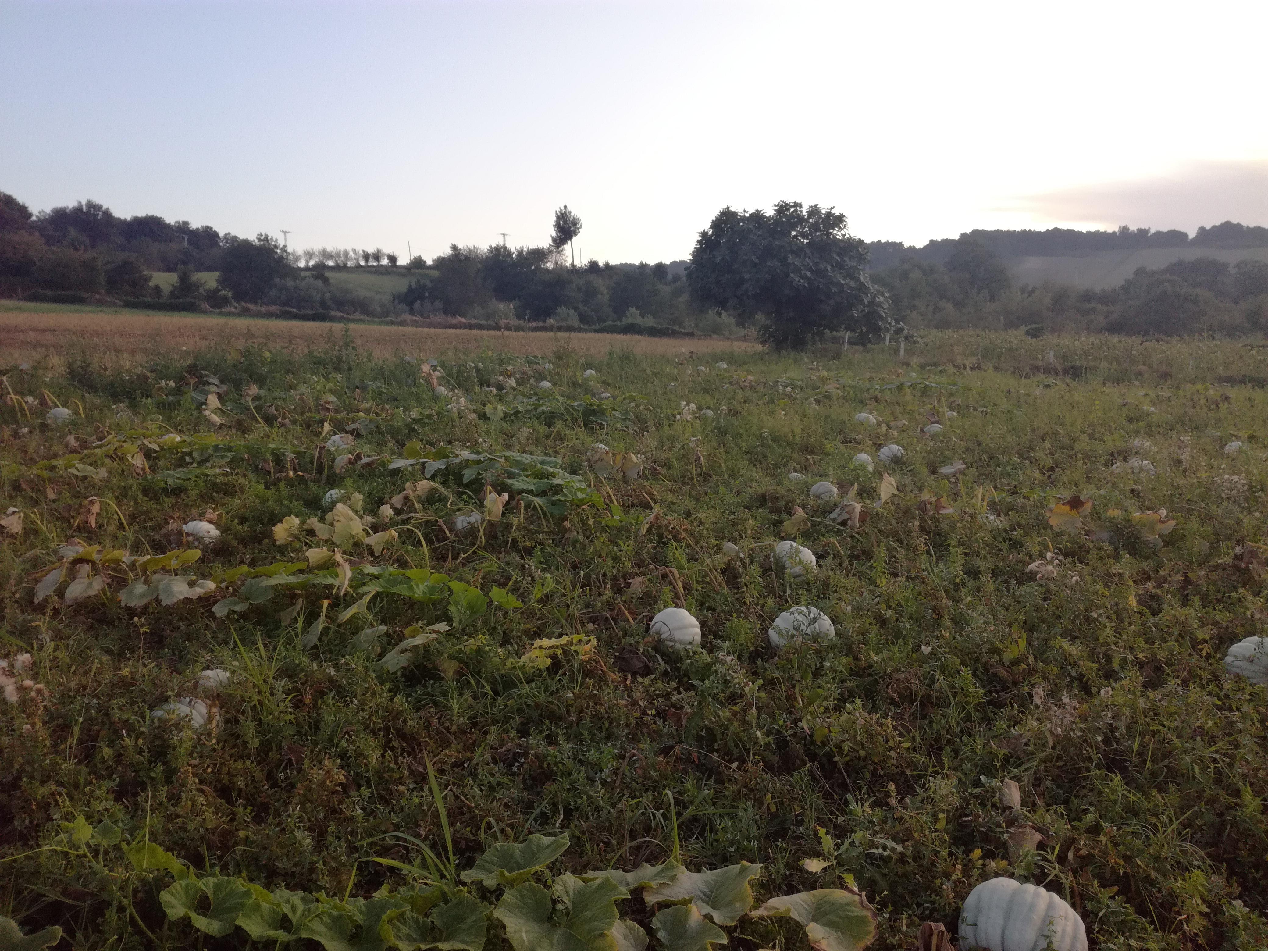Bal Kabağı resimi fotoğrafı