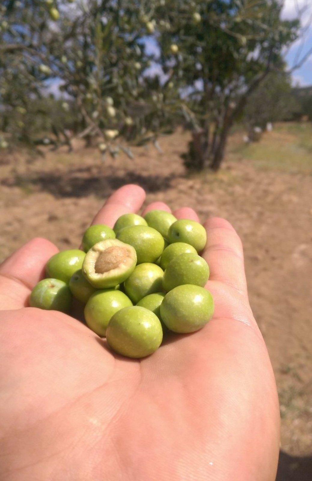 Zeytin - Üretici Özgür Günay 12 tl fiyat ile 5.000 kilogram siyah salamuralık (tekirdağ) çeşidi zeytin satmak istiyor