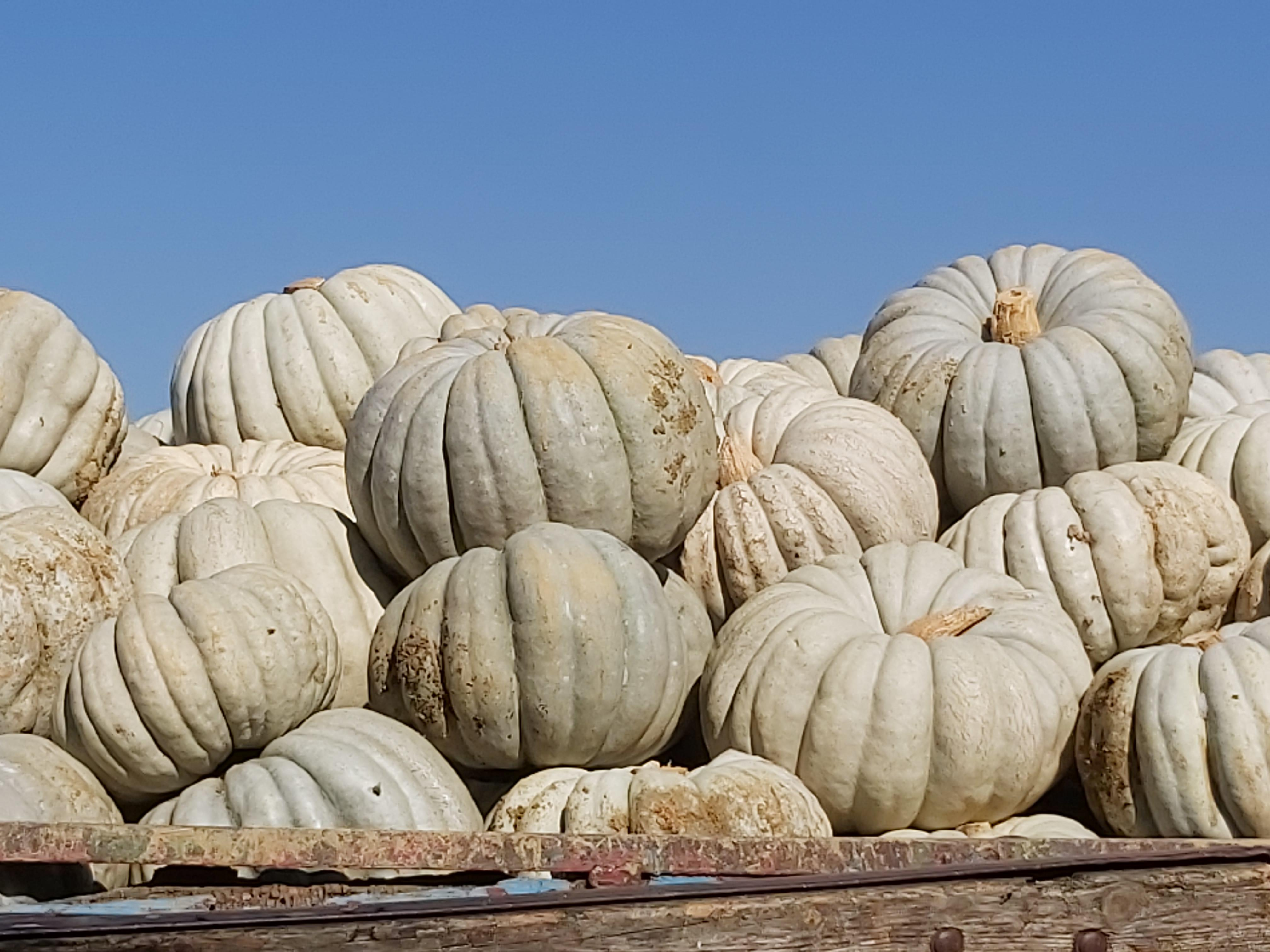 Bal Kabağı - Üretici Mehmet T 1 tl fiyat ile 12.000 kilogram arıcan 97 çeşidi bal kabağı satmak istiyor