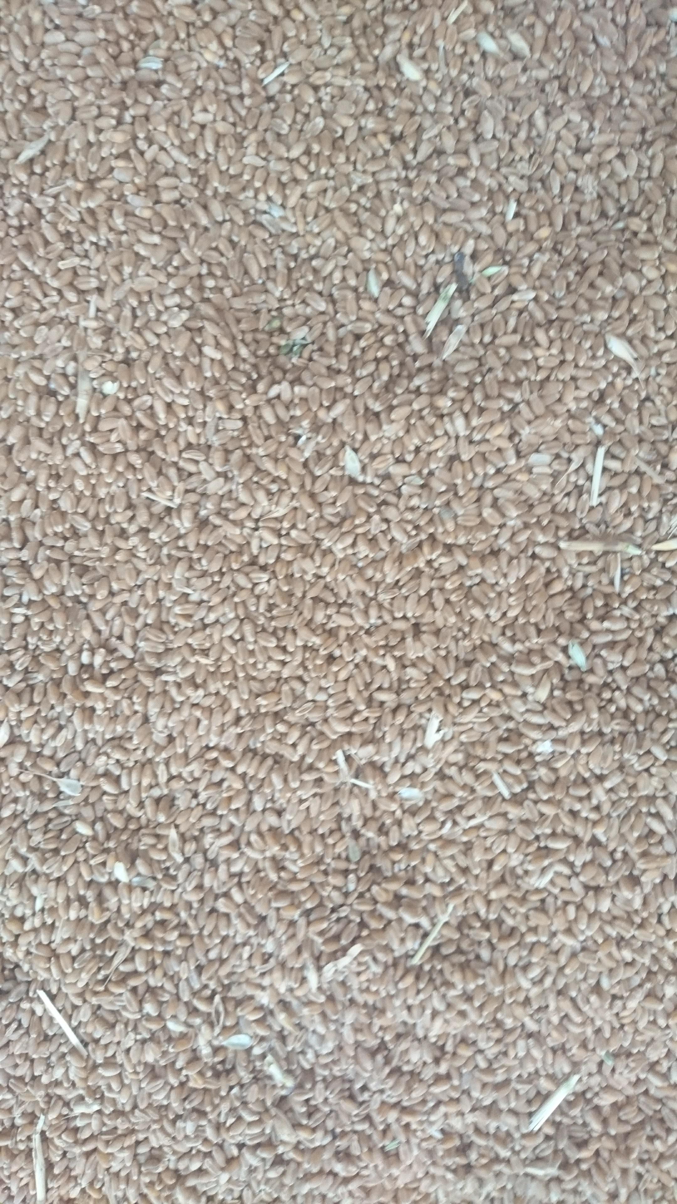 Buğday (Ekmeklik) - Üretici Bahadır Kopan 1750 tl fiyat ile 1.000 kilogram buğday (ekmeklik)  satmak istiyor