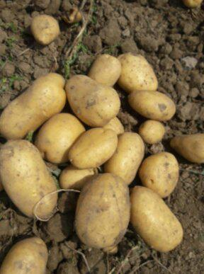 U Ce Satılık Patates - 13.12.2019