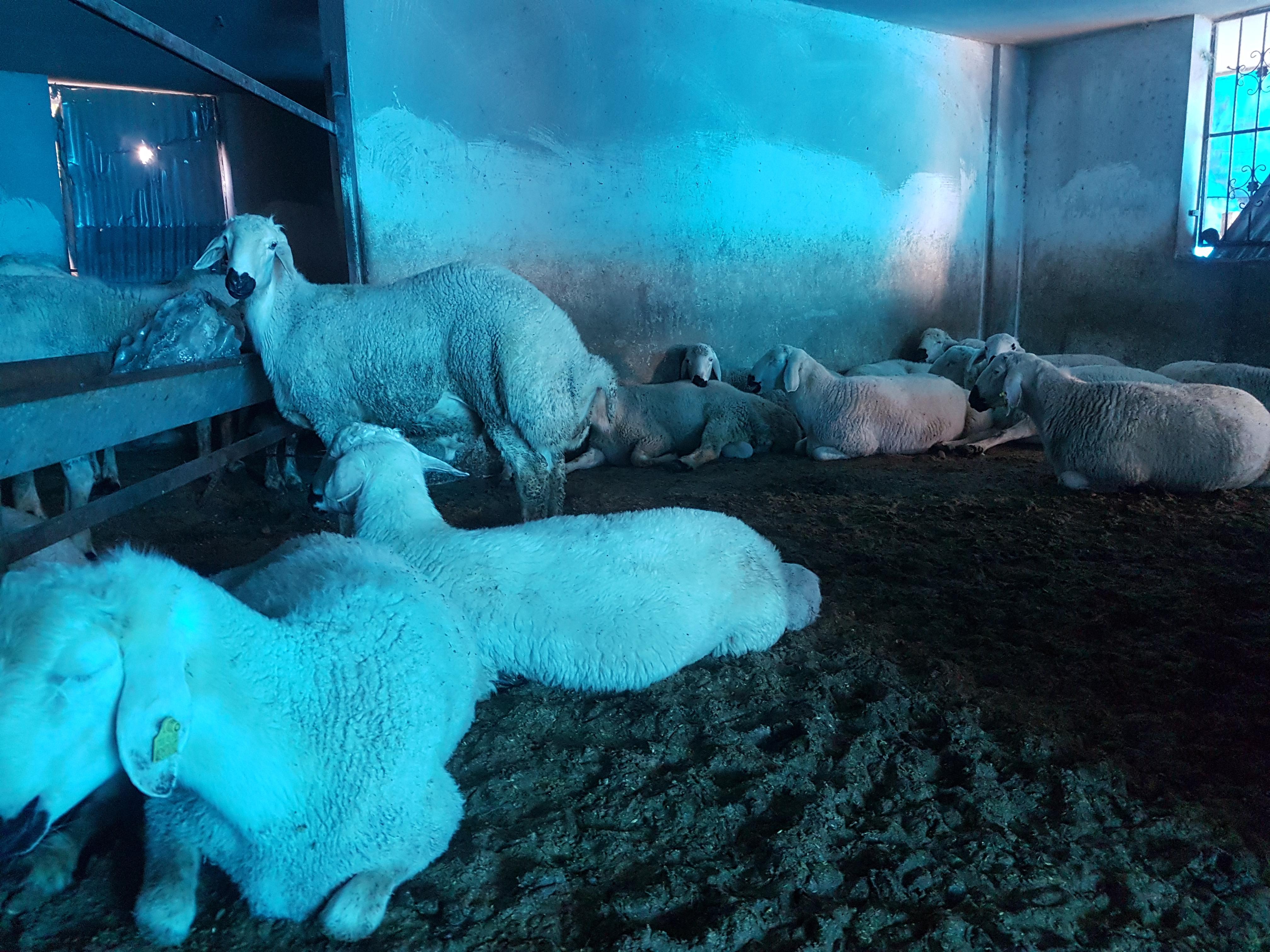 Koyun - Üretici Hüseyin Yildiz 10000 tl fiyat ile 69 adet koyun  satmak istiyor