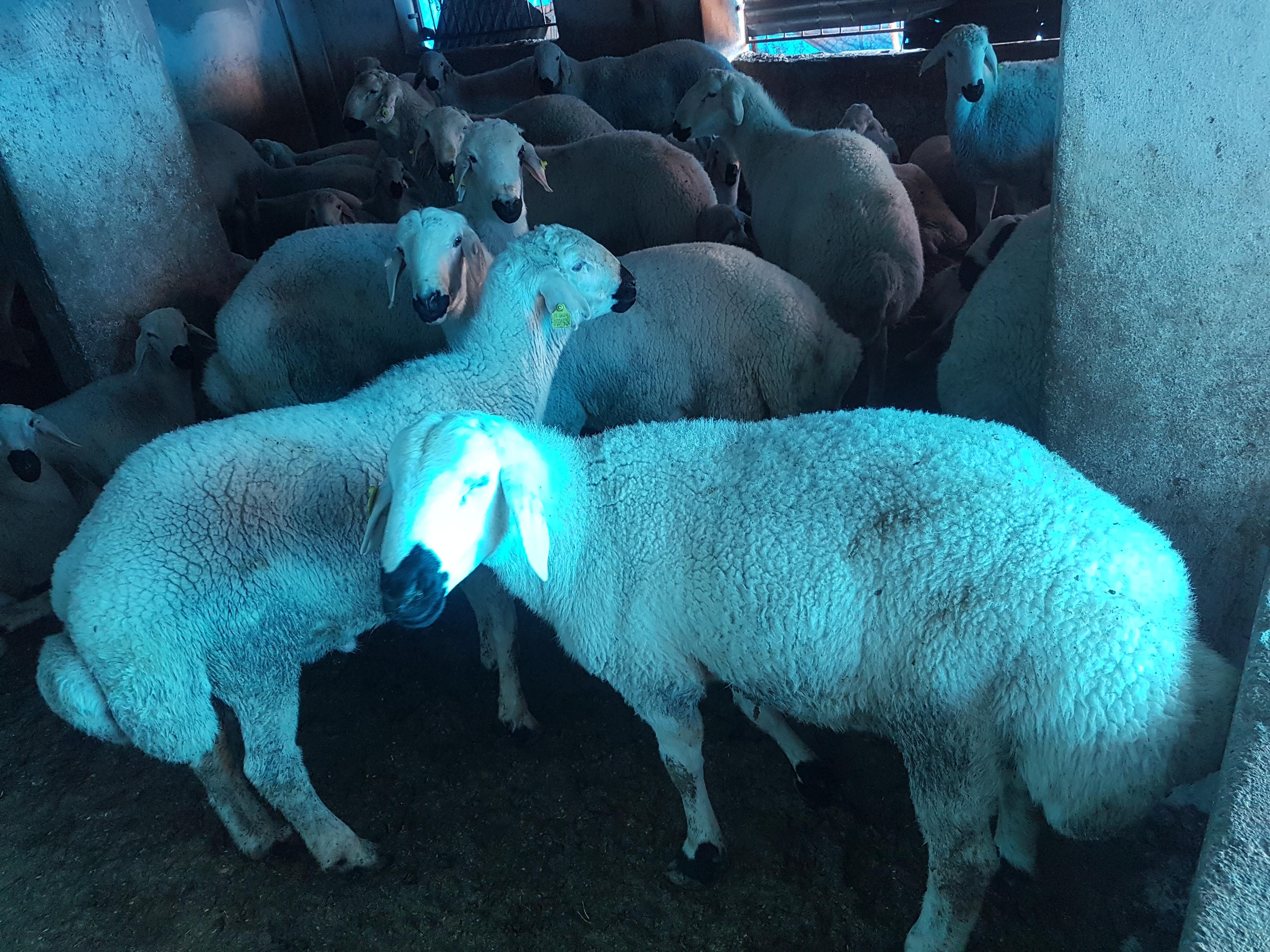Adana Karaisalı Satılık Koyun