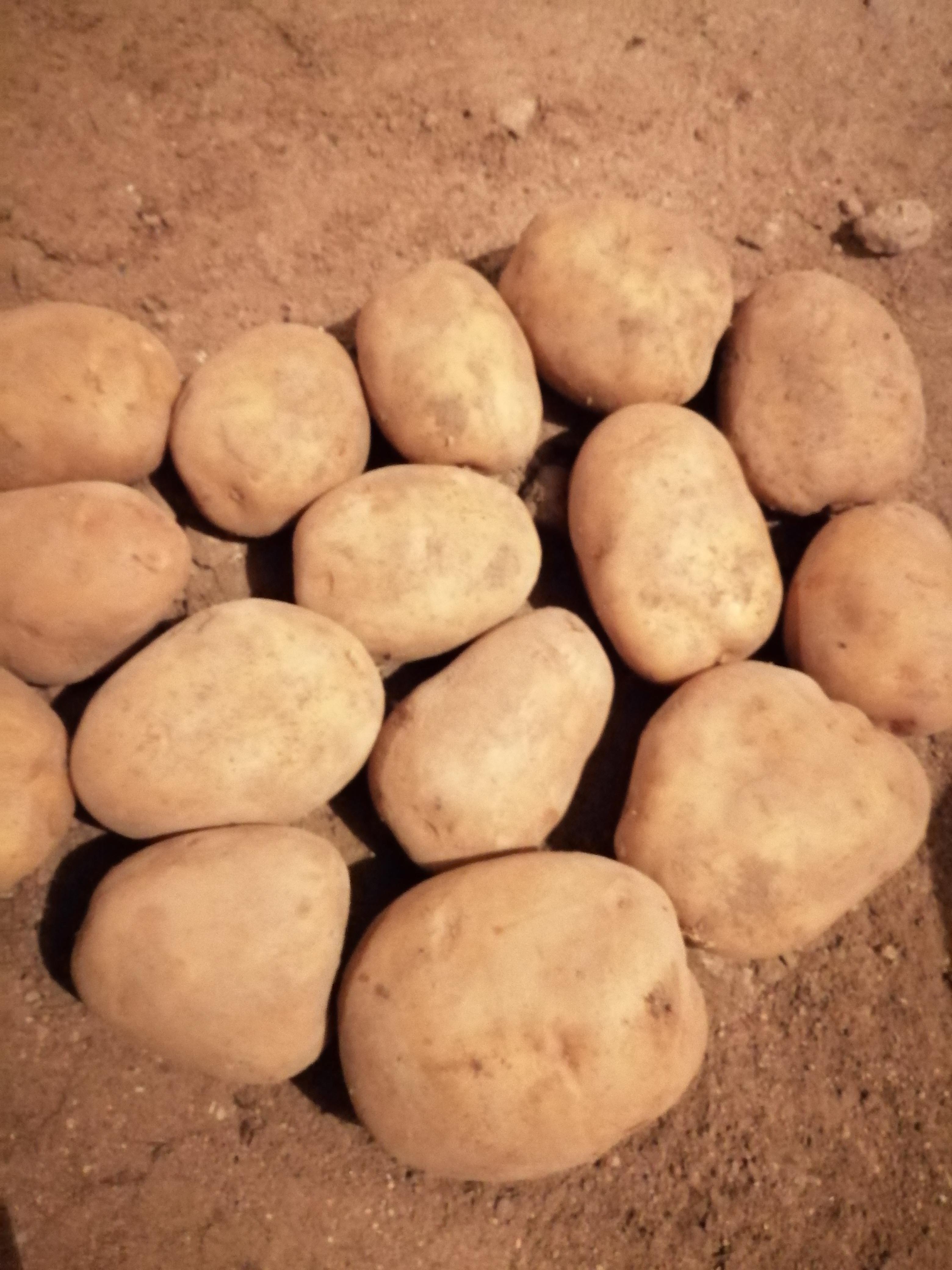 Nevşehir Ürgüp Satılık Patates