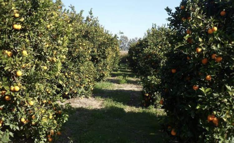 Antalya Serik Satılık Portakal fidanı