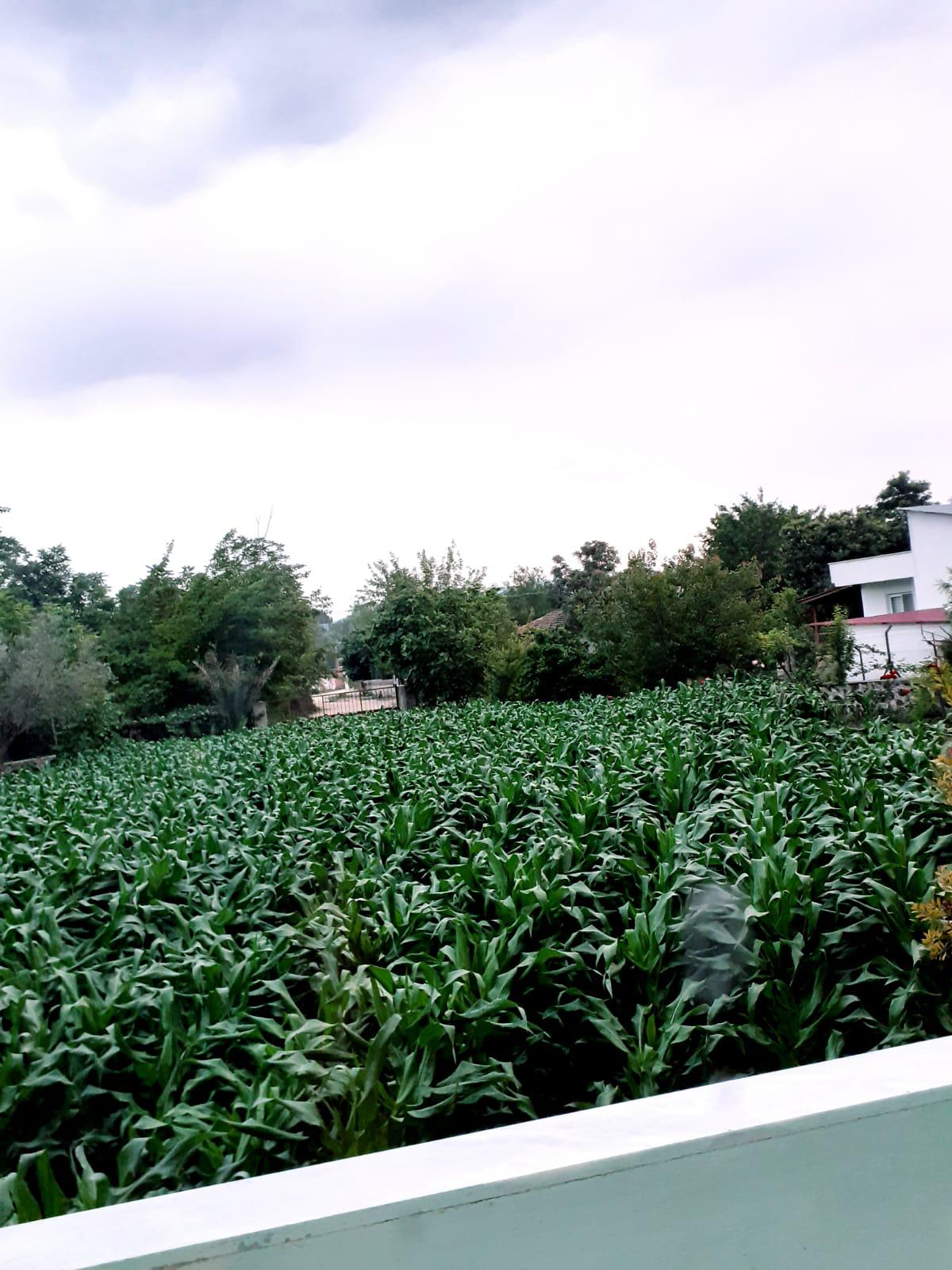 Mısır Dane - Üretici Uğur Şensoy 1.5 tl fiyat ile 3.000 kilogram dkc 6022 çeşidi mısır dane satmak istiyor