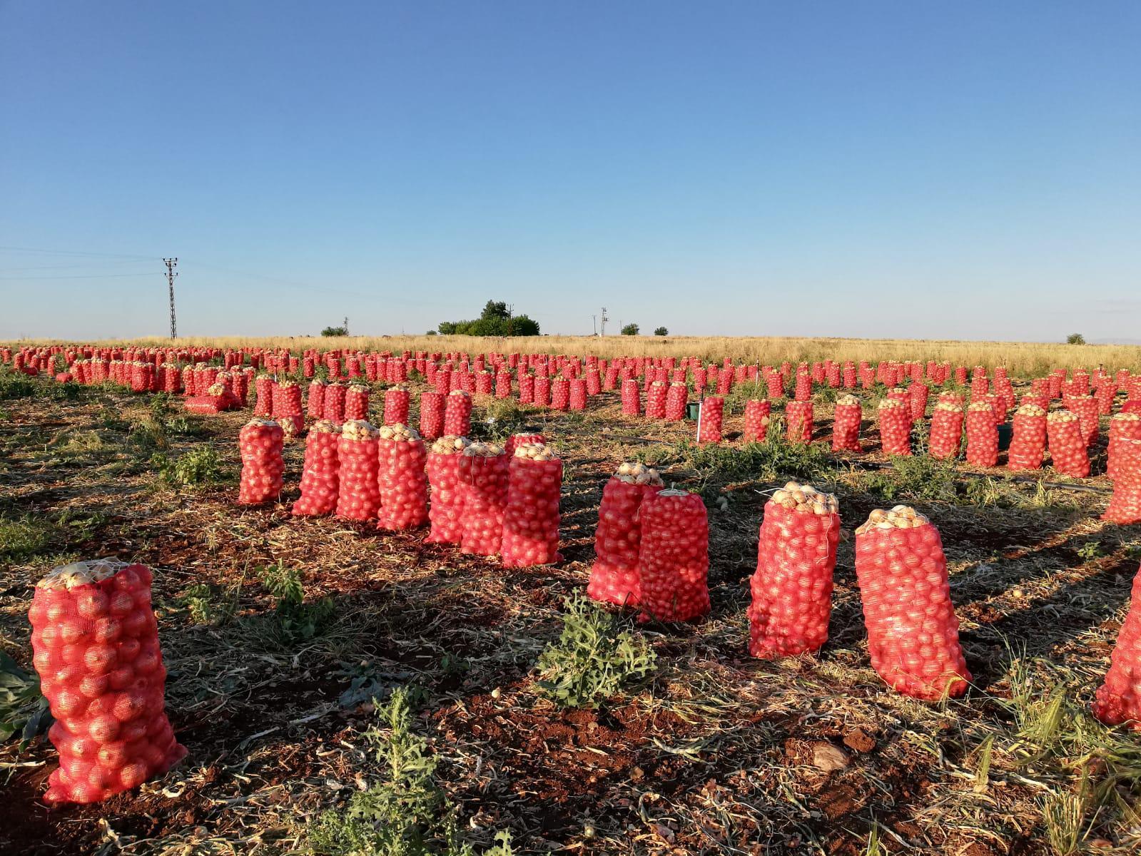 Kuru Soğan - Üretici Adam Adam 60000 tl fiyat ile 500.000 kilogram kuru soğan  satmak istiyor