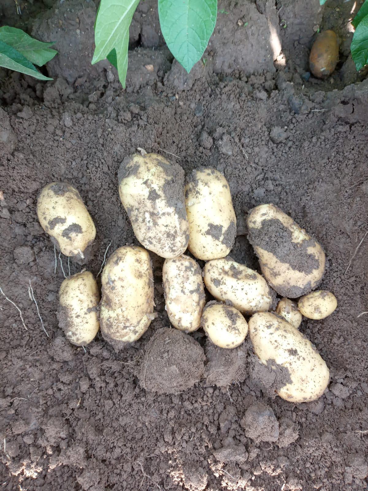 Patates - Üretici Tahsin Yigit 1.3 tl fiyat ile 300.000 kilogram marabel çeşidi patates satmak istiyor